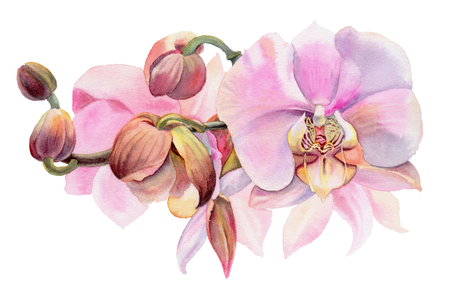 Pink orchids. Watercolor flowers isolated on a white background. Hand-drawn illustration. Stock Photo