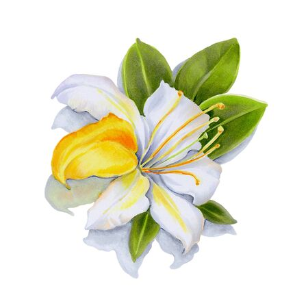 Flowers isolated on a white background. White rhododendrons.  Hand-drawn illustration.  Drawing with markers