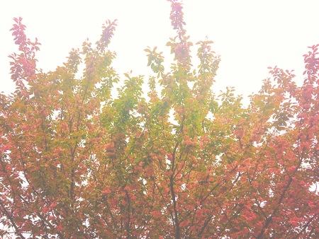 Cherry Blossom tree in sunlight