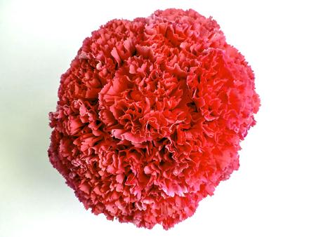 Overhead shot of pink carnations Banco de Imagens