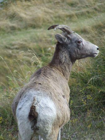 bighorn sheep: Bighorn Sheep Female ( Ewe) Stock Photo