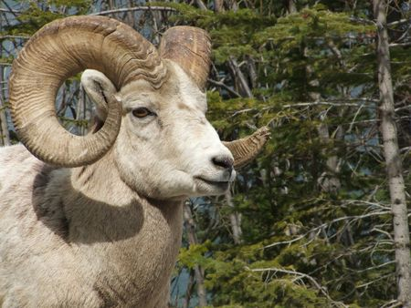 ram sheep: Big Horn Sheep Ram