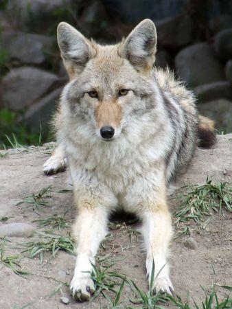 Coyote taking a siesta