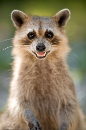 Wild racoon in Key West Florida USA photo