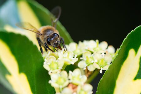 extracting: A bee extracting pollen from a flower