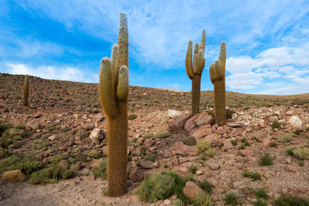 autochthonous: Cactus in the Atacama Desert, northern Chile