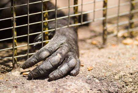 mistreatment: Hand of an imprisoned gorilla through the cage