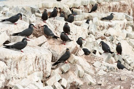 latina america: A group of birds known as Charran Inca, scientific name Larosterna Inca, typical from deserted coasts of Peru and Chile.  Image taken in Iquique, Chile Stock Photo