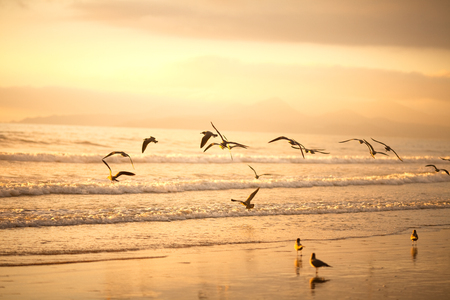 Flock of seagulls on the beach of La Serena, Chile