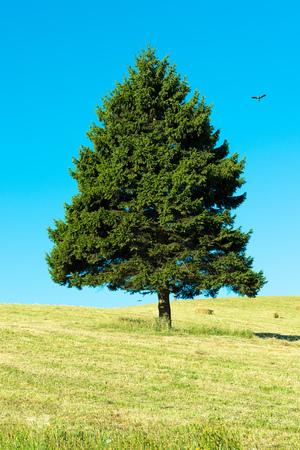 Single triangle shaped tree on the field against a blue sky, X Region de Los Lagos, Chile