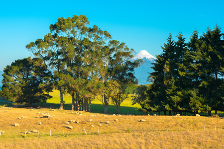 Sheep in a farm at the shores of Lake LLanquihue with Osorno Volcano in the back, X Region de Los Lagos, Chile Stock Photo
