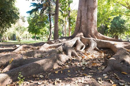 Tree roots in Tibet garden at O? ?? Higgins public park, downtown Santiago, Chile
