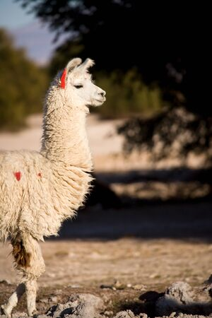 Alpaca in a oasis in the Atacama desert, Tambillo, Los Flamencos National Reserve, Atacama desert, Chile, South America Фото со стока