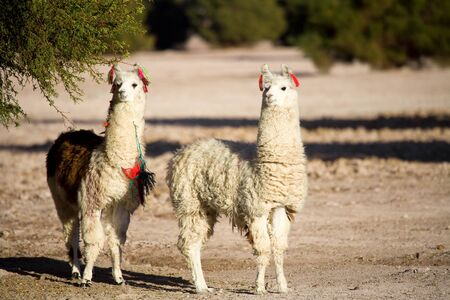 Alpacas in a oasis in the Atacama desert, Tambillo, Los Flamencos National Reserve, Atacama desert, Chile, South America