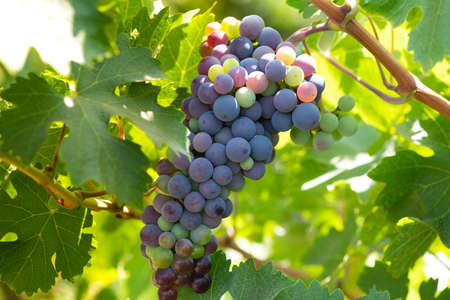 Close-up detail of grapes at a vineyard at Colchagua valley in Chile 写真素材