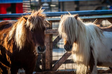 Color picture of Shetland ponnies on a farm