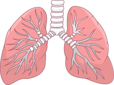 respiracion: Ilustraci�n de pulm�n humano Vectores