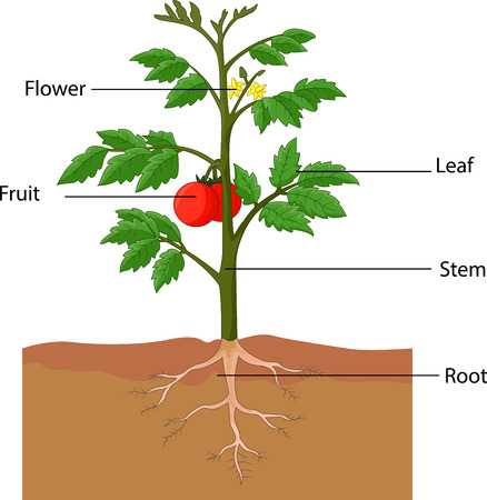 Showing the parts of a tomato plant cartoon