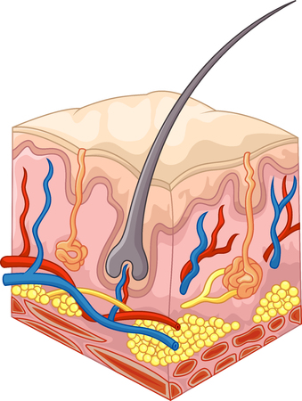 skin structure: Vector illustration of The layers of skin and pores