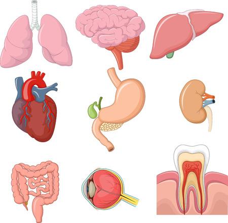 brain illustration: Vector illustration of internal human organs collection set
