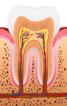 clean artery: Vector illustration of Human Tooth Anatomy
