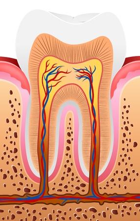 anatomy: Vector la ilustraci�n de la anatom�a del diente humano Vectores