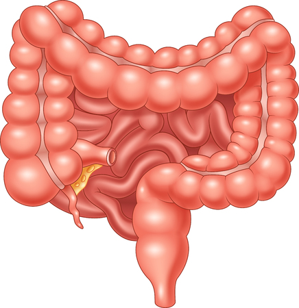 stomach: Vector illustration of Large and Small Intestine