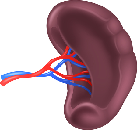 Vector illustration of Human Spleen Anatomy