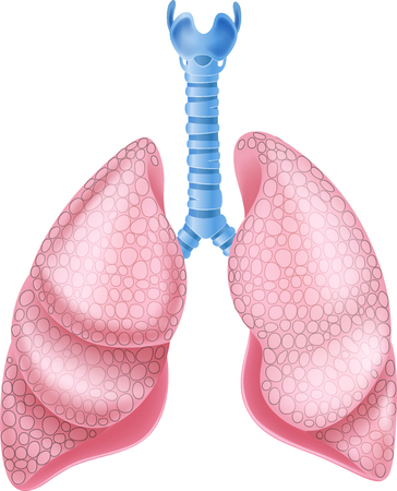 lung: Vector illustration of healthy Lungs Anatomy