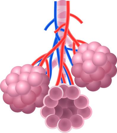 alveolos pulmonares: Ilustración del vector de alvéolos anatomía humana estructura Vectores
