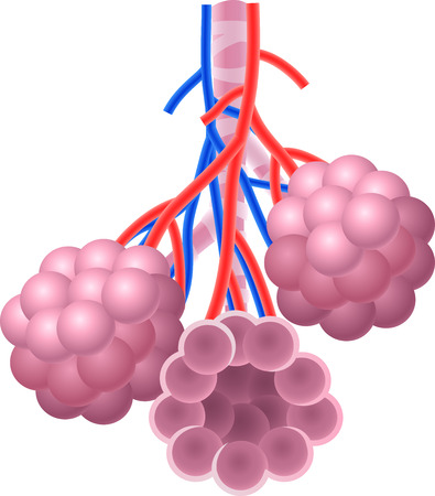 alveoli: Vector illustration of Human Alveoli structure Anatomy