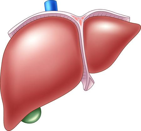 人間の肝臓の解剖学のベクトル イラスト  イラスト・ベクター素材