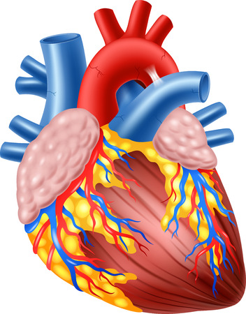 heart organ: Vector illustration of Human Hearth Anatomy Illustration