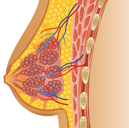 breast nipple: Vector illustration of female breast anatomy