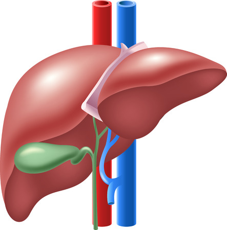 glycoprotein: Vector illustration of Human Liver and Gallbladder Illustration