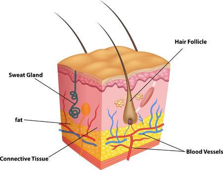 Vector illustratie van de lagen van de huid en poriën anatomie