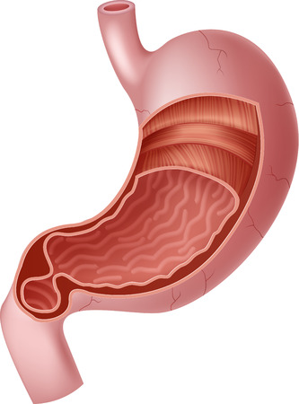 stomach pain: Vector illustration of Human Internal Stomach Anatomy