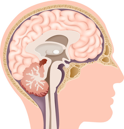 pituitary gland: Vector illustration of Human Internal Brain Anatomy