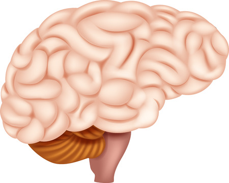 pituitary gland: Vector illustration of Human Brain Anatomy