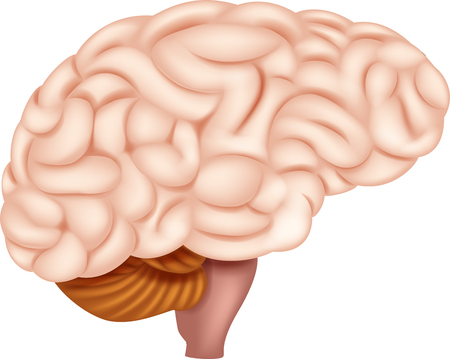 Vector illustration of Human Brain Anatomy