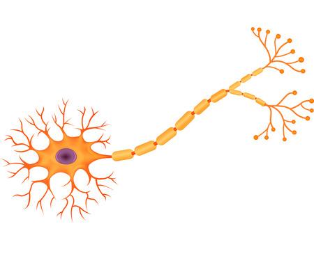 sistema nervioso central: Ilustración del vector de la neurona anatomía humana Vectores
