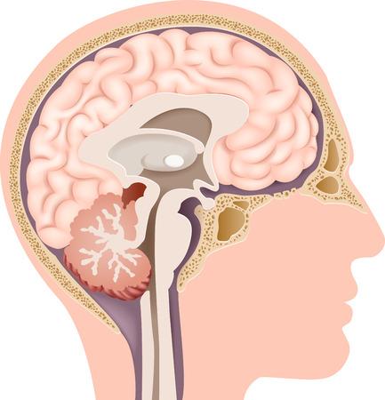 hipofisis: Vector la ilustración de la anatomía del cerebro humano interno