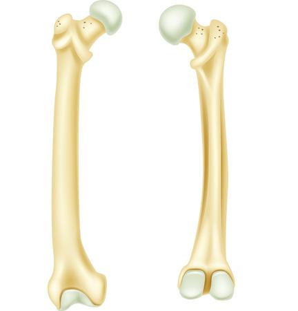 Vector illustration of human bone anatomy  イラスト・ベクター素材