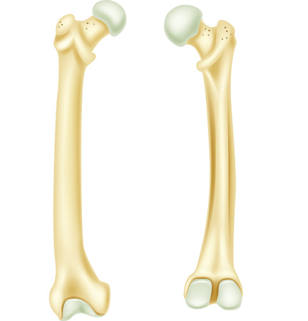 Vector illustration of human bone anatomy Vettoriali