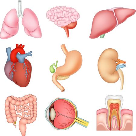 Vector illustration of Internal organs anatomy Vectores