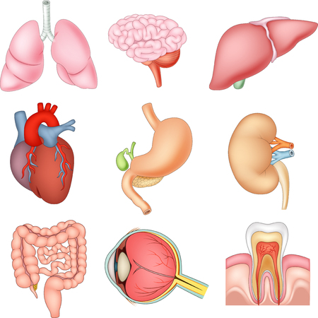 Vector illustration of Internal organs anatomy Иллюстрация