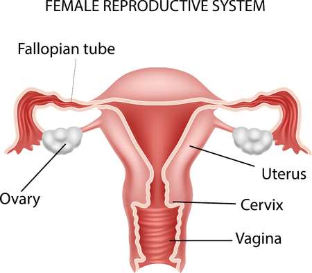 Vector illustration of Female reproductive system