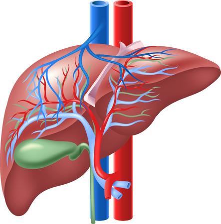 Vector illustratie van Intern menselijk lever en galblaas Stock Illustratie