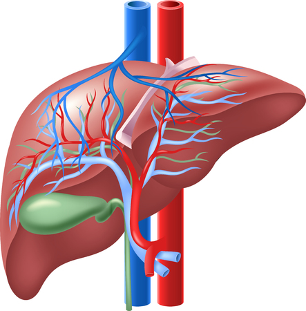 dialysis: Vector illustration of Human Internal Liver and Gallbladder