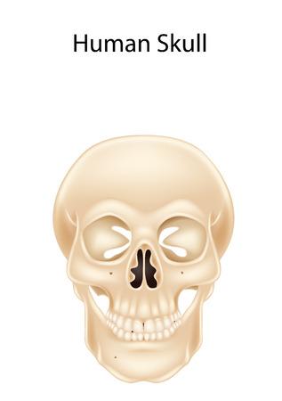 bleak: Vector illustration of Human skull isolated on white background